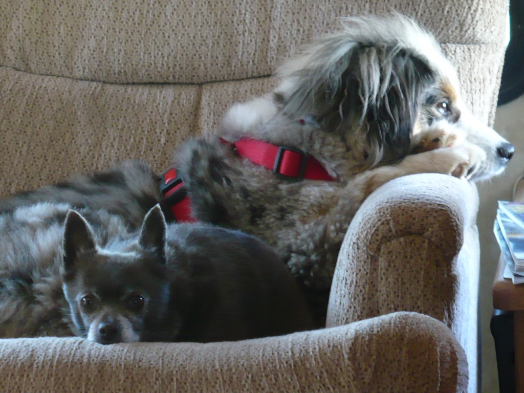 Dogs in the chair
