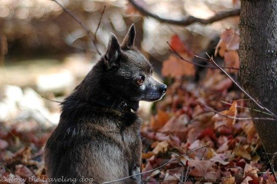 beautiful dogs-Roxy