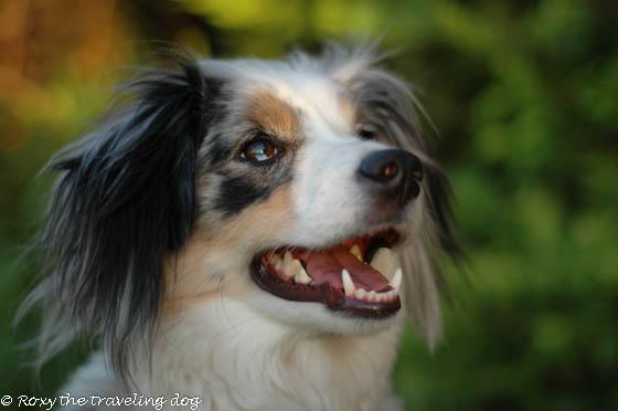 Beautiful dogs-Torrey