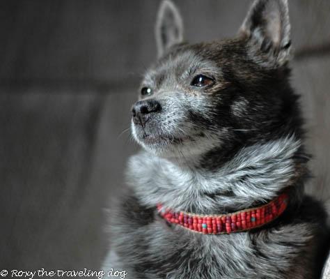Roxy the dog model, roxy doggie necklace,beadwork,