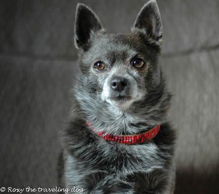Roxy the dog model,roxy doggie necklace,beadwork