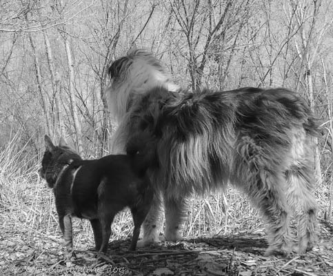 black and white photot of dogs