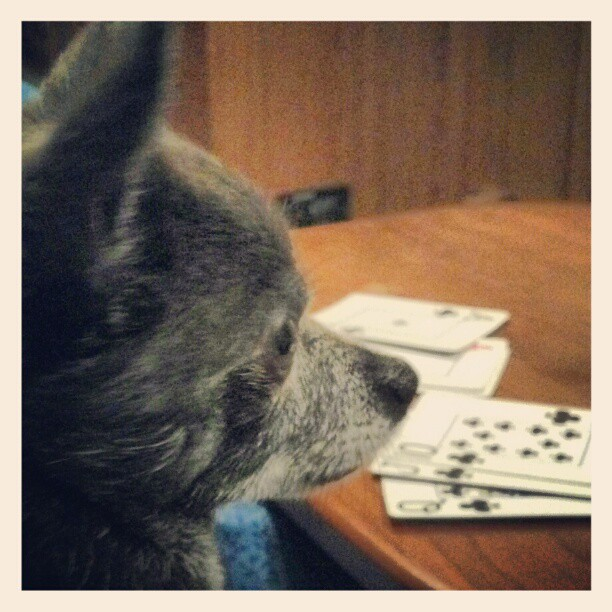 Dog playing cards,Wordless Wednesday