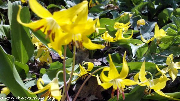 earth day glacier lilies