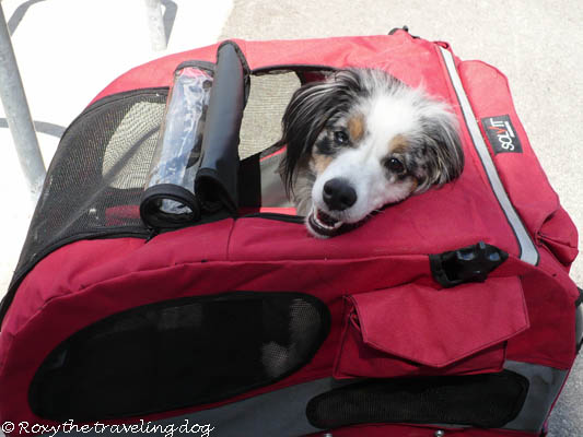 Thursday thoughts with Torrey, dog in a bike trailer