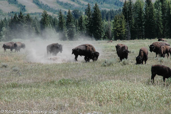 See Beautiful - Wild nature buffalo