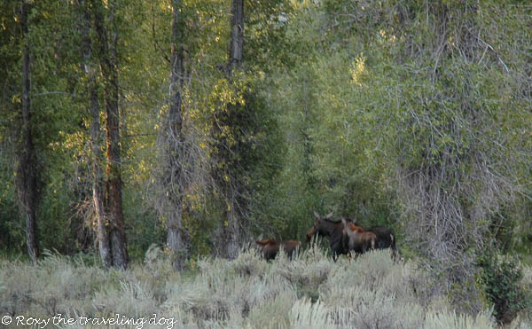 More moose on the loose