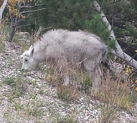 Mountain goats in the black hills
