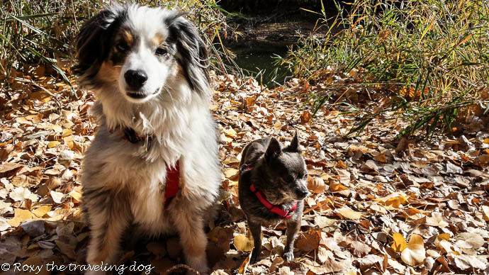 Dogs in the leaves