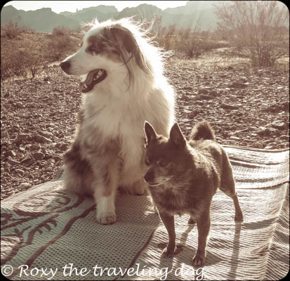 dogs in the desert