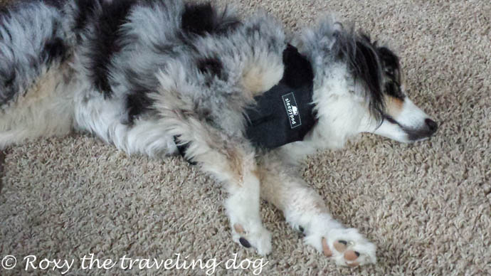 How to have the safest traveling dog ,sleepypod,clickit