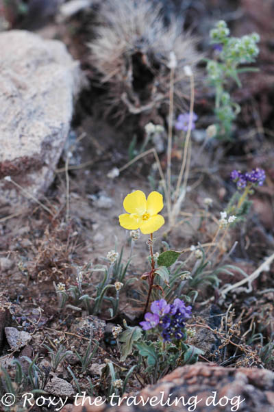 Wild flowers in the sonoran desert, Persevering in life