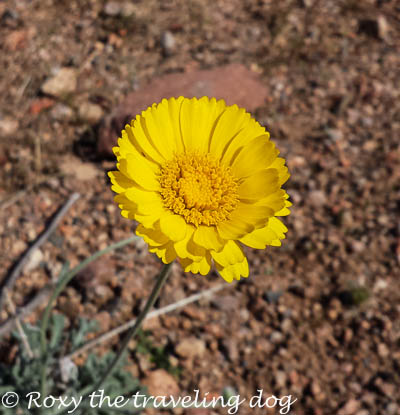 Boondocking near Wickenburg, Arizona, sonoran desert flower