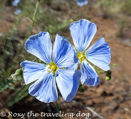 My favorite flower, Flax