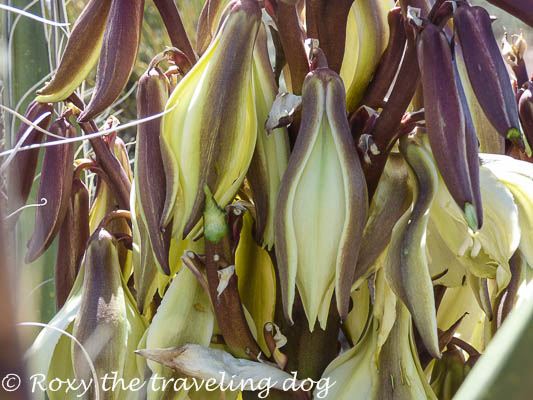 Thursday thoughts with Torrey, yucca flower
