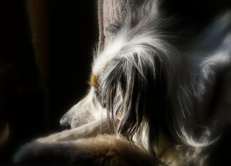 Torrey-Our sacred spirit dog