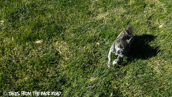 Roxy running at the park in the grass