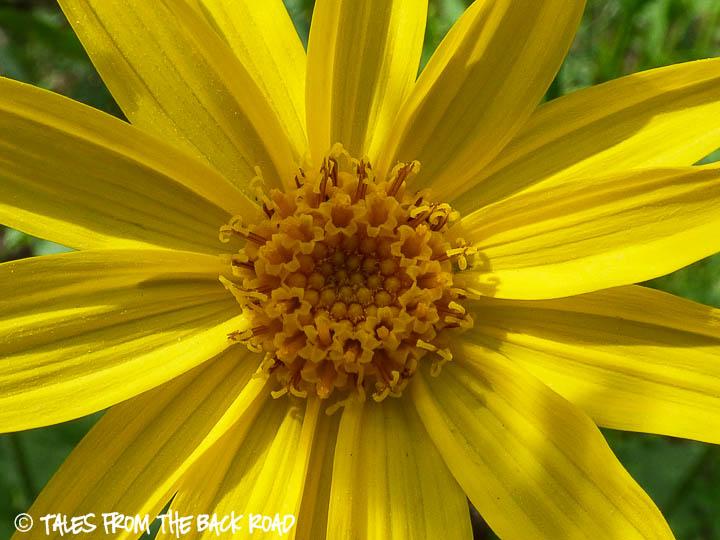 Yellow daisy wildflower