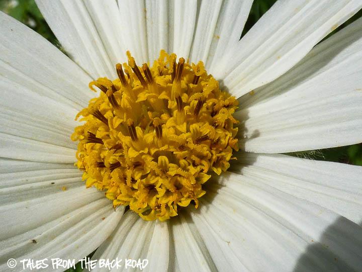white daisy wildflower