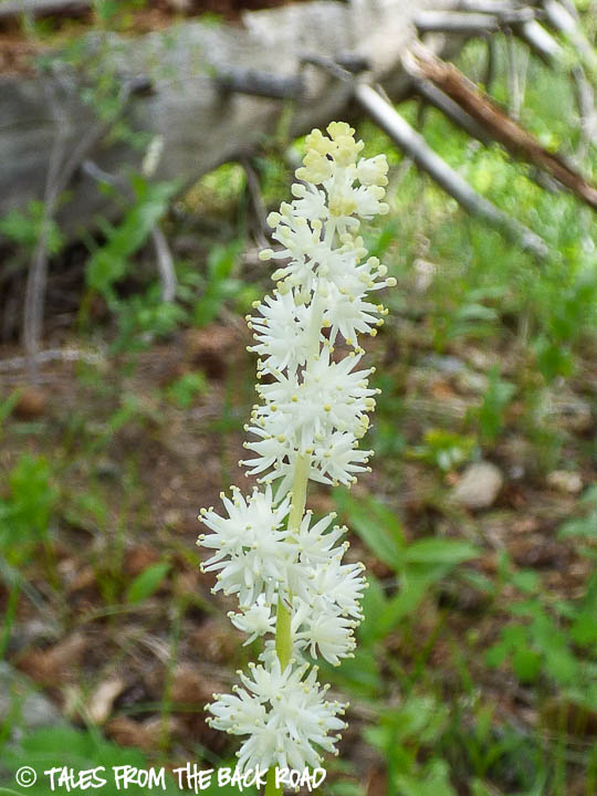 Wildflower in Idaho