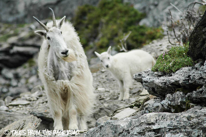 Mountain goats while Hiking in Glacier National Park