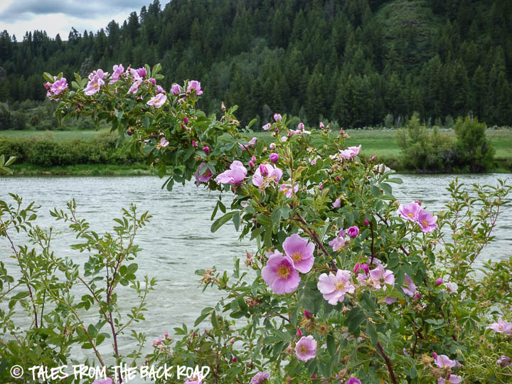 wild roses along the snake river