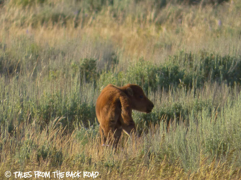 Tiny baby bison