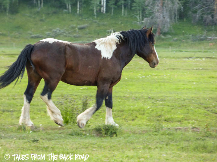 Shire horse in pasture
