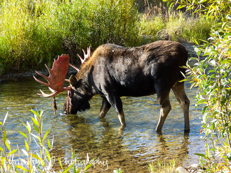 Bull moose in water