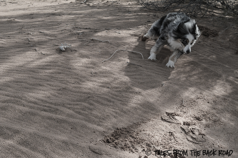 Desert sands, dog in the desert