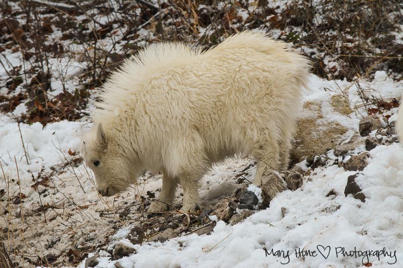 Mountain goats, Wildlife in Wyoming