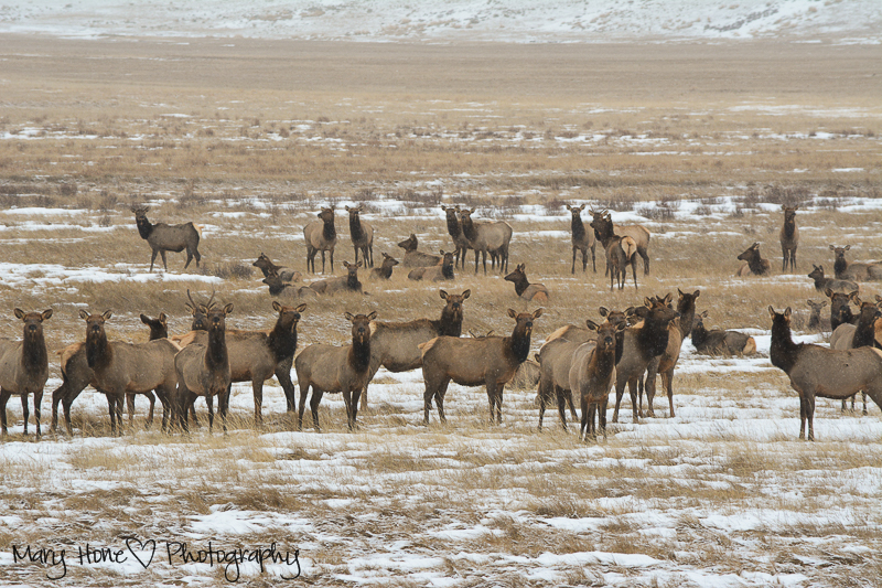 National elk refuge jackson hole, Wyoming