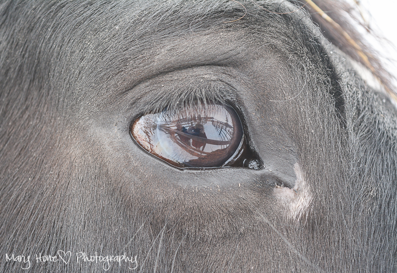 Percheron horses, horses eyes