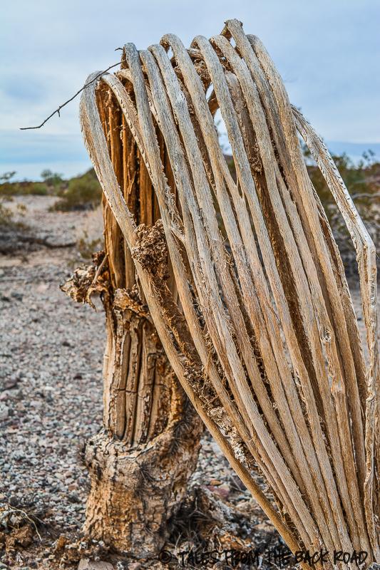 Saguaro cactus ribs