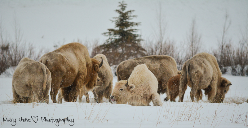 White buffalo,