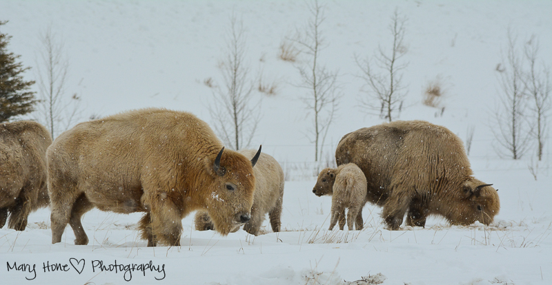 white buffalo calf Wildlife in Wyoming