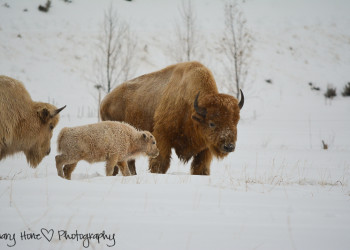 White buffalo calf Mary Hone photography