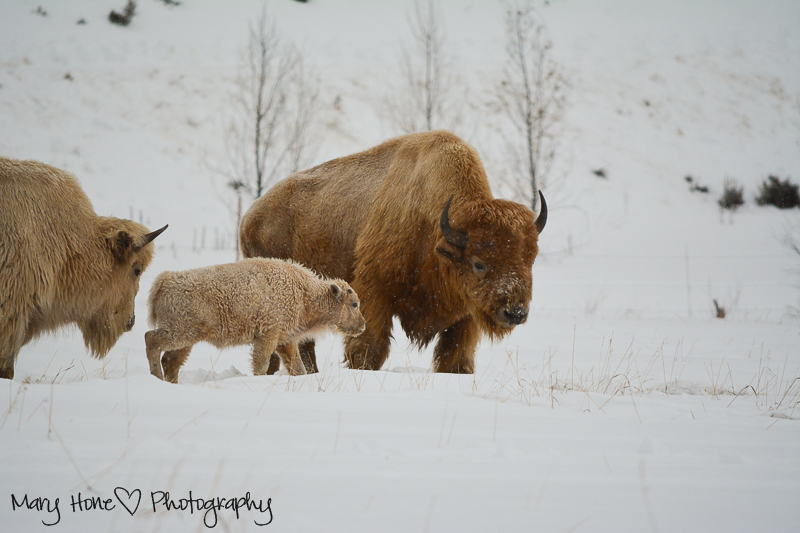 white buffalo calf. Wildlife in Wyoming