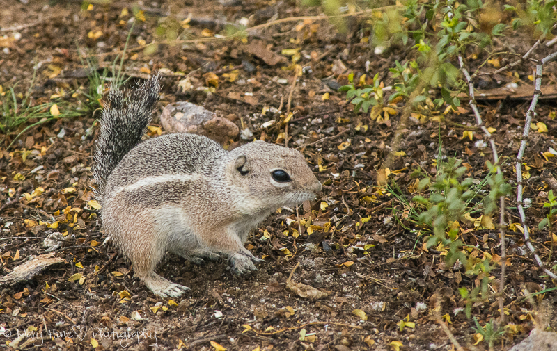Antelope squirrel of the Sonoran desert