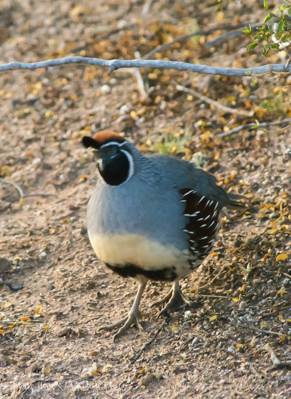 Birds of the Sonoran desert