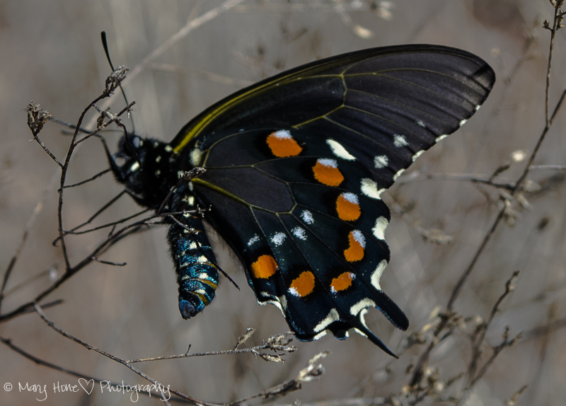Buenos Aires national wildlife refuge, pipevine swallowtail