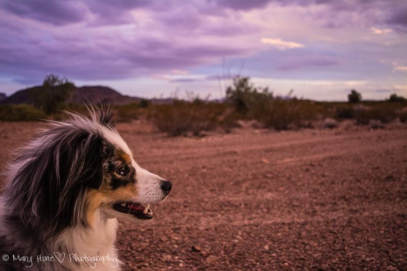 Dog at sunset in the desert