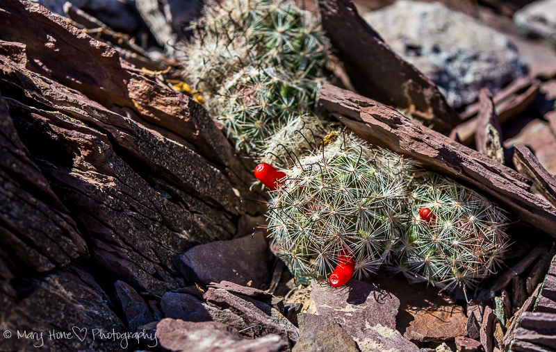 Photos tell the stories. Fish hook cactus