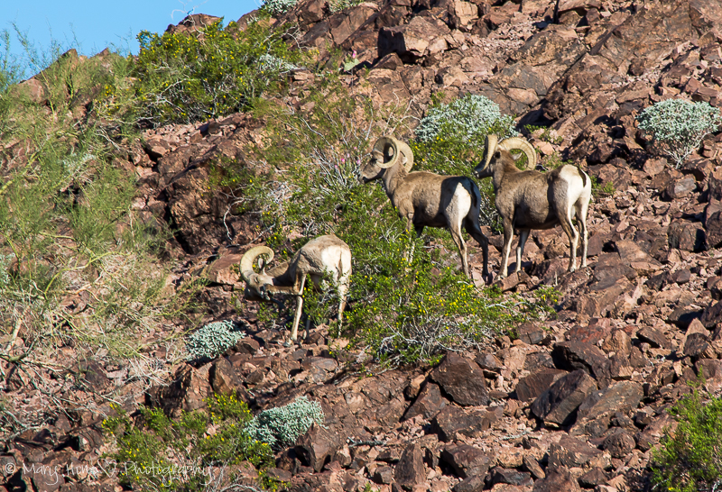 What a great photo op, desert bighorn sheep