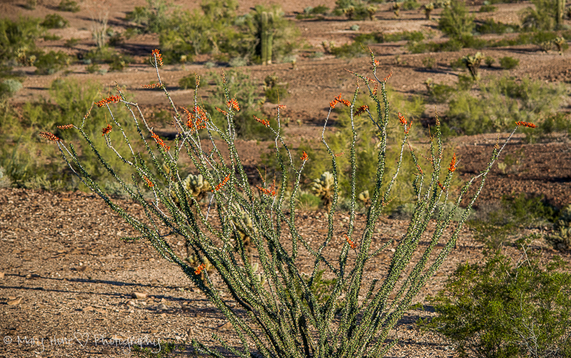 And still more desert flowers