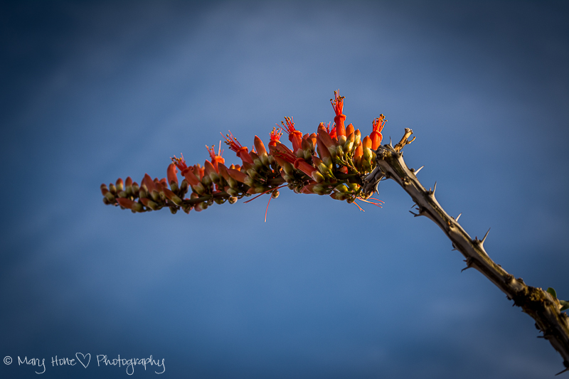 Ocotillo, And still more desert flowers