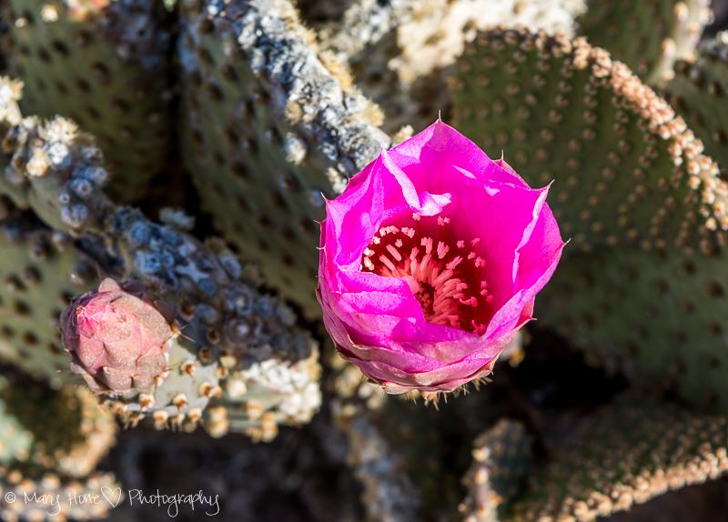 beaver tail cactus pink flower