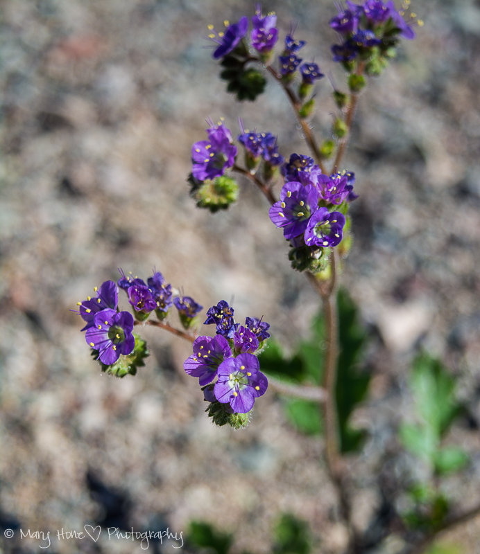 Arizona bluebell. Purple wildflower