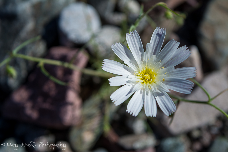 Desert chicory. white arizona wildflower