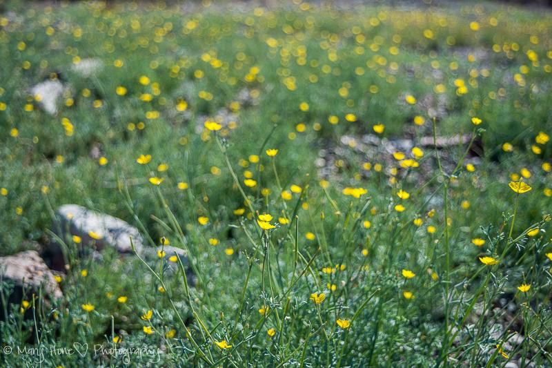Yellow wildflowers in Arizona